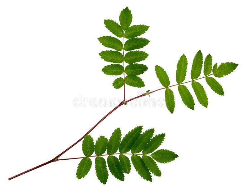 The leaves of mountain ash, red ash royalty free stock photo