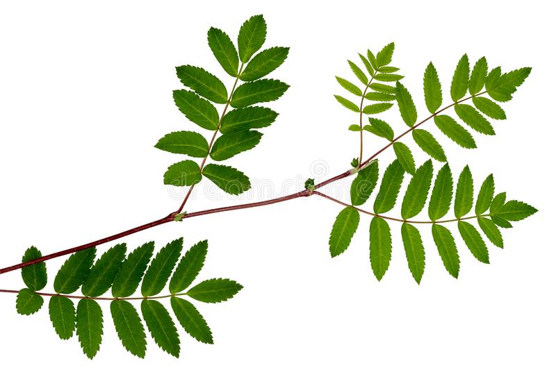 The leaves of mountain ash, red ash stock photos