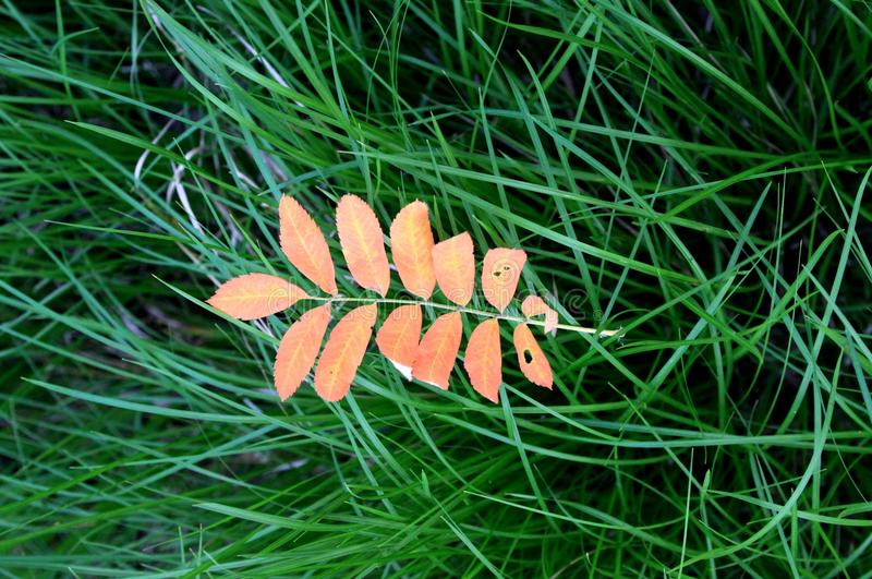 The leaves of mountain ash. Rowan. Russia Western Siberia Altai Krai, June 21, 2015: Rowan is a genus of relatively low woody plants pinions Apple (Rosales) in stock images