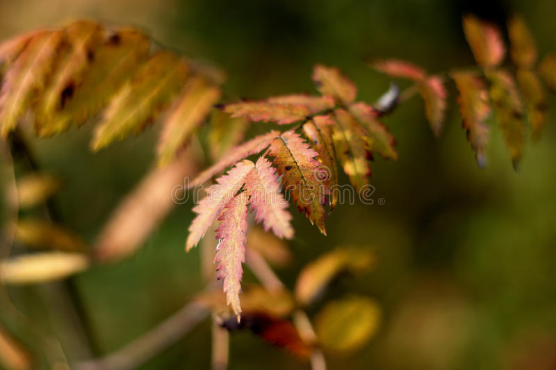 The leaves of mountain ash turned red royalty free stock image