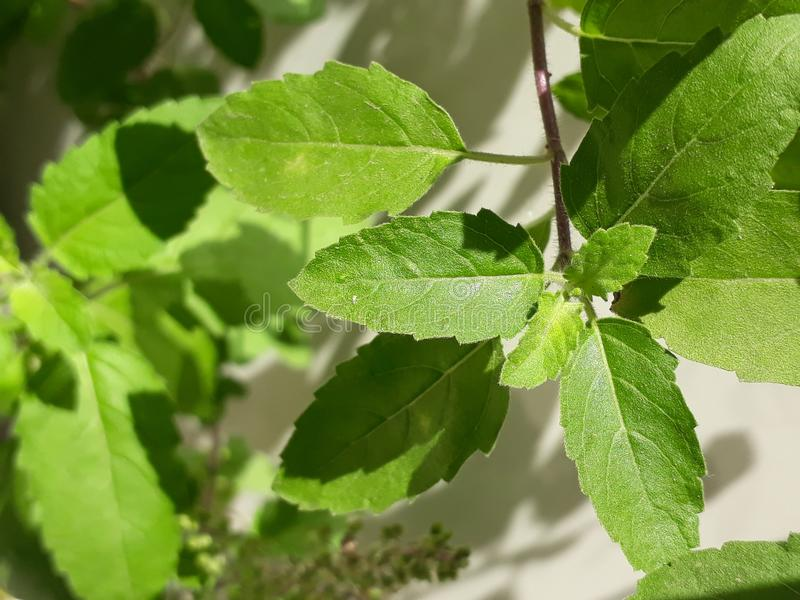 The leaves of nice green Tulsi royalty free stock photo