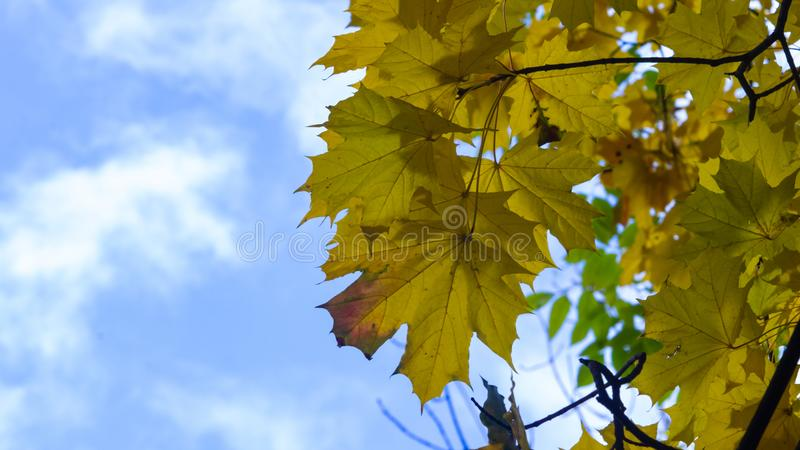 Leaves of Norway Maple, Acer platanoides, in autumn against sky with bokeh background, selective focus, shallow DOF. Leaves of Norway Maple or Acer platanoides royalty free stock photo