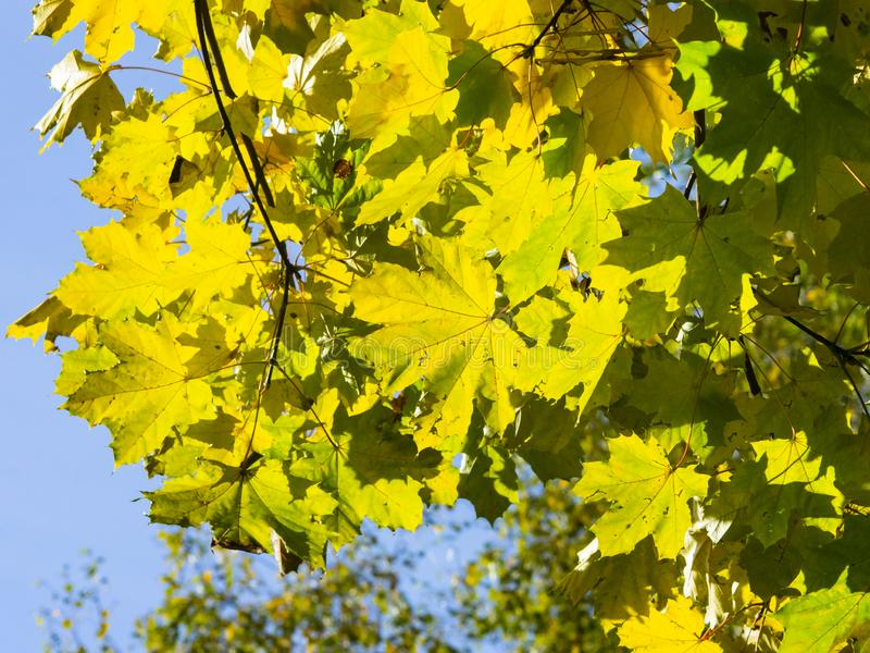 Leaves of Norway Maple, Acer platanoides, in autumn against sunlight with bokeh background, selective focus, shallow DOF. Leaves of Norway Maple or Acer royalty free stock photography