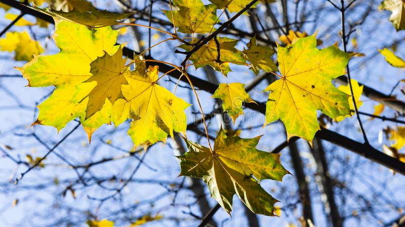 Leaves of Norway Maple, Acer platanoides, in autumn against sunlight with bokeh background, selective focus, shallow DOF. Leaves of Norway Maple or Acer stock photo