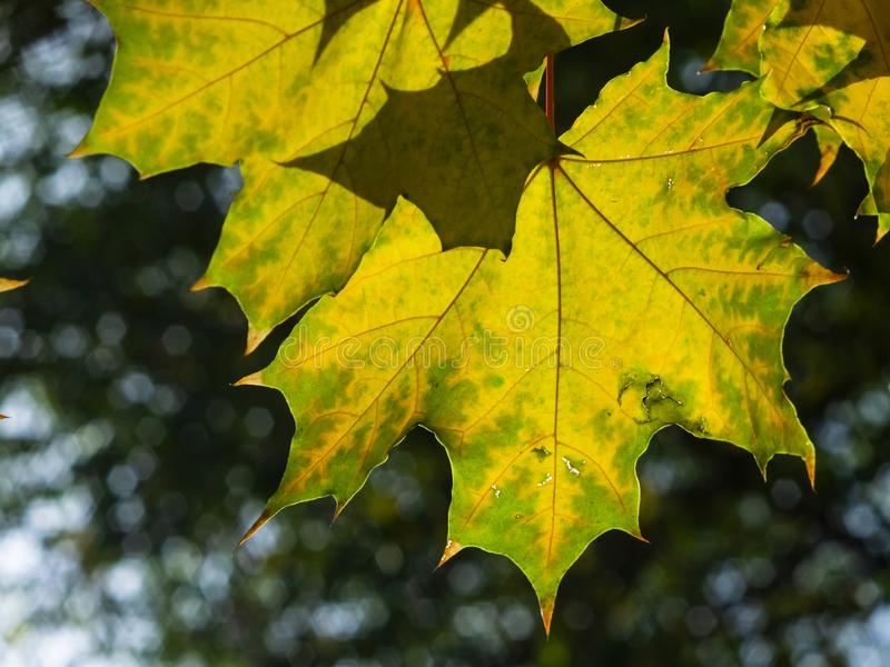 Leaves of Norway Maple, Acer platanoides, in autumn against sunlight with bokeh background, selective focus, shallow DOF. Leaves of Norway Maple or Acer stock images