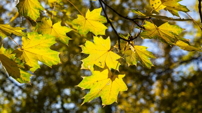Leaves of Norway Maple, Acer platanoides, in autumn against sunlight with bokeh background, selective focus, shallow DOF. Leaves of Norway Maple or Acer royalty free stock image