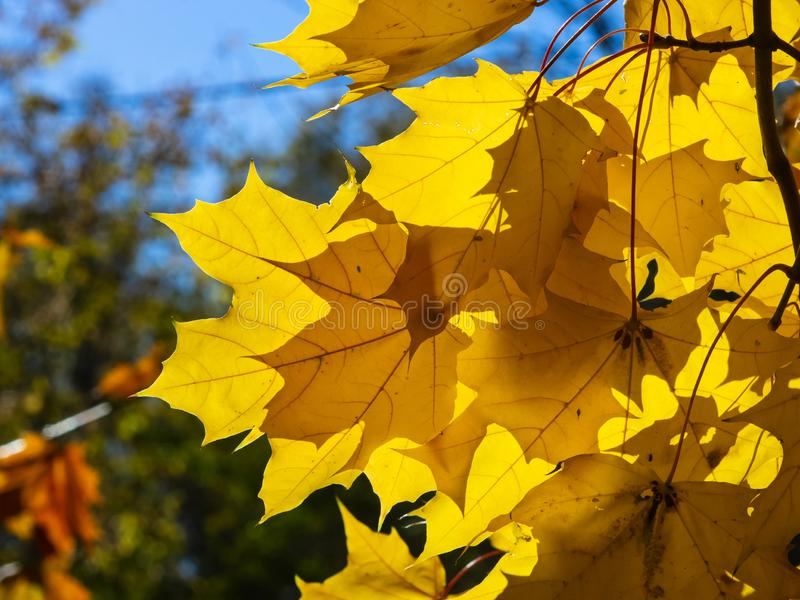 Leaves of Norway Maple, Acer platanoides, in autumn against sunlight with bokeh background, selective focus, shallow DOF. Leaves of Norway Maple or Acer stock image