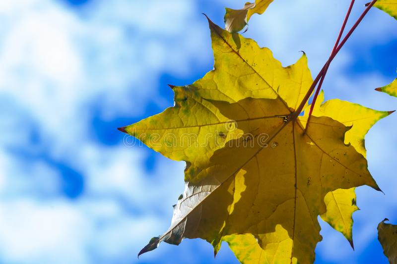 Leaves of Norway Maple, Acer platanoides, in autumn against sunlight with bokeh background, selective focus, shallow DOF. Leaves of Norway Maple or Acer royalty free stock photos