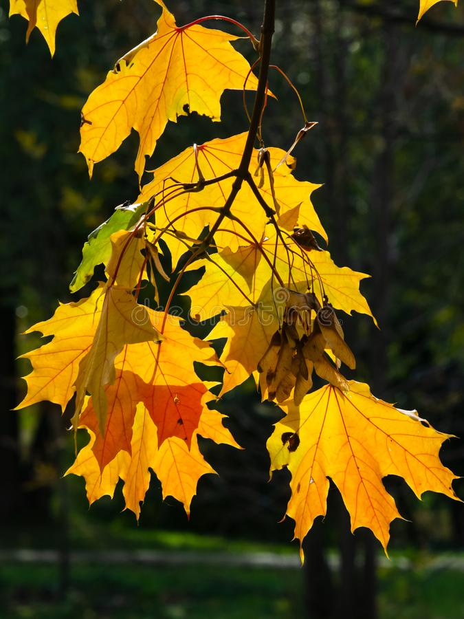 Leaves of Norway Maple, Acer platanoides, in autumn against sunlight with bokeh background, selective focus, shallow DOF. Leaves of Norway Maple or Acer stock photos
