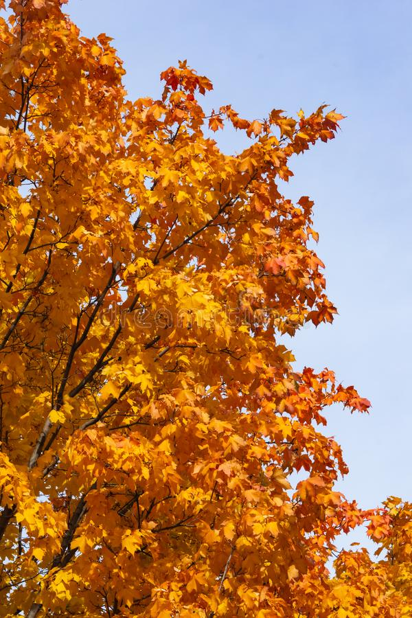 Leaves of Norway Maple, Acer platanoides, in autumn sunlight background against sky, selective focus, shallow DOF.  stock photography