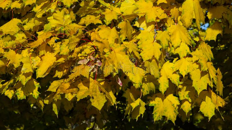 Leaves of Norway Maple, Acer platanoides, in autumn sunlight background, selective focus, shallow DOF. Leaves of Norway Maple or Acer platanoides in autumn royalty free stock image