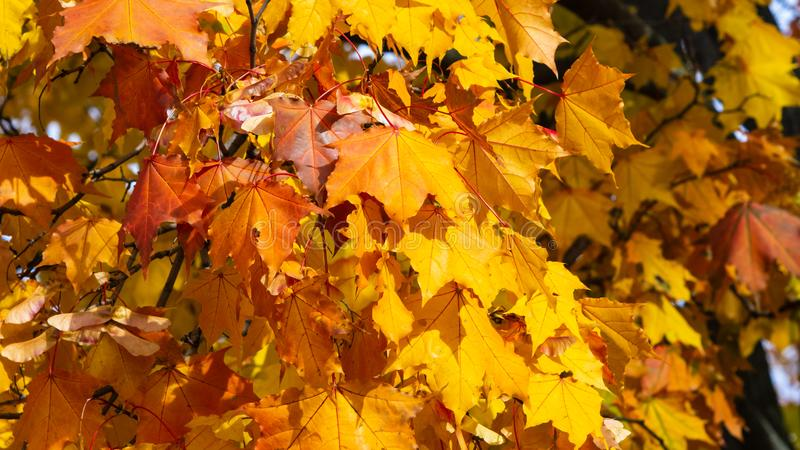 Leaves of Norway Maple, Acer platanoides, in autumn sunlight background, selective focus, shallow DOF. Leaves of Norway Maple or Acer platanoides in autumn stock image