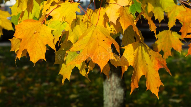 Leaves of Norway Maple, Acer platanoides, in autumn sunlight background, selective focus, shallow DOF. Leaves of Norway Maple or Acer platanoides in autumn stock photography