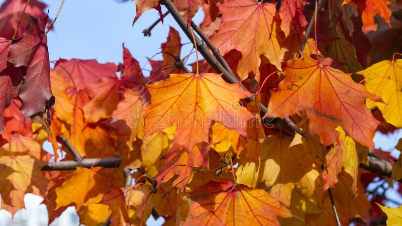 Leaves of Norway Maple, Acer platanoides, in autumn sunlight background, selective focus, shallow DOF. Leaves of Norway Maple or Acer platanoides in autumn royalty free stock photos