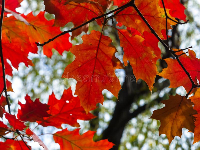 Leaves Nothern red oak or Quercus rubra in autumn against sky with bokeh background, selective focus, shallow DOF. Leaves of Nothern red oak or Quercus rubra in stock photography