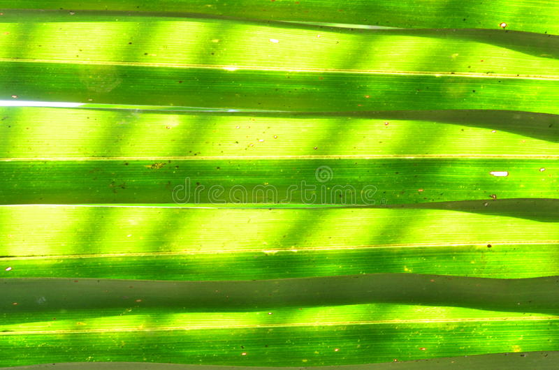 Leaves of Nypa palm royalty free stock image