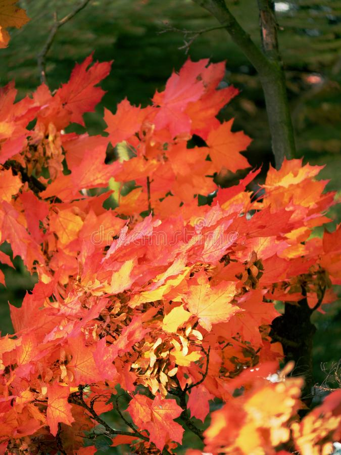 Free Leaves Of Autumnal Maple. Dark Red Feathery Acer, Bright Blue Royalty Free Stock Photography - 139275707