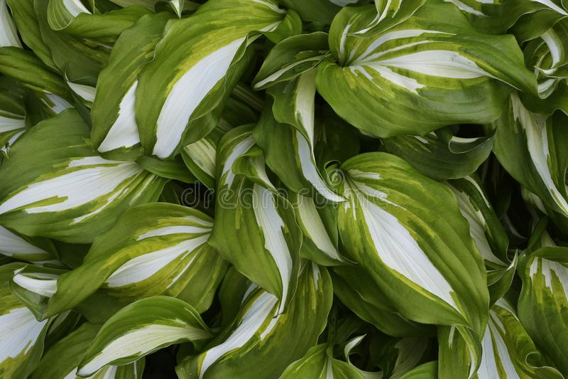 Leaves of ornamental shrub hosts. Leaves of garden ornamental shrub hosts stock photos