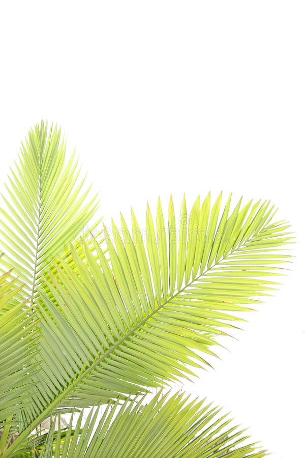 Leaves of palm tree. On white background
