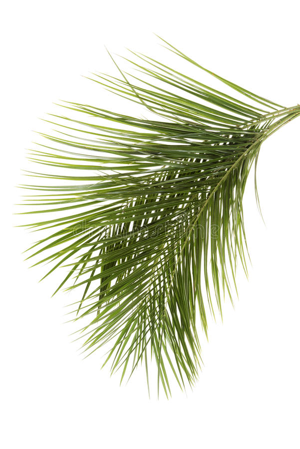 Download Leaves of palm tree stock image. Image of cycas, natural - 26366895