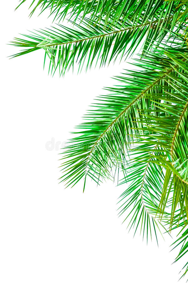 Leaves of palm tree isolated on white background royalty free stock photo