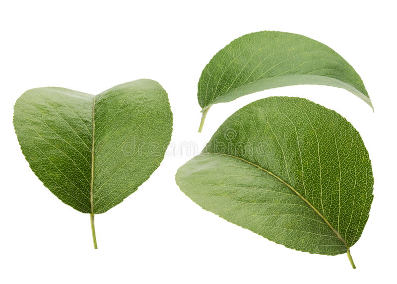 Leaves of pear on the white background royalty free stock photos