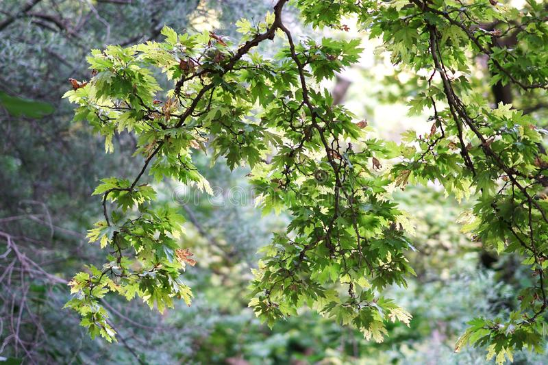 Leaves of plane tree against the light on the river Acheron, Epirus royalty free stock photos