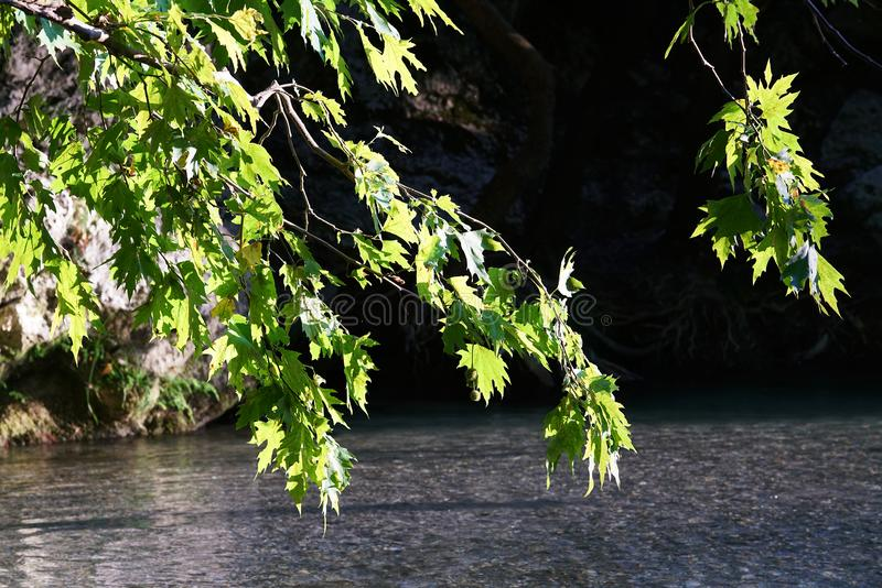 Leaves of plane tree against the light on the river Acheron, Epirus. Greece, solitary, yellow, tall, plant, strong, summer, leaf, springtime, big, trunk royalty free stock photo