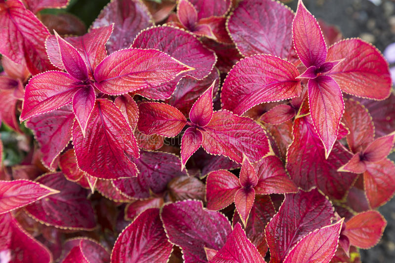 Leaves of the plant Coleus close up royalty free stock image