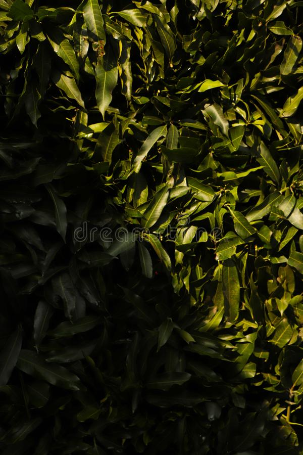 Leaves of a plant curl on the wall. green leaf background. Foliage, forest. stock photos