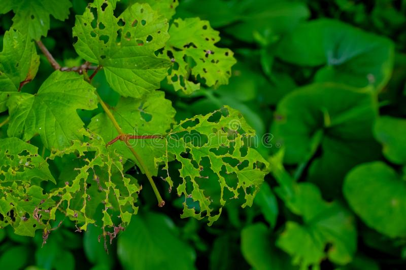Leaves of plants damaged by pests and adverse conditions. Leaves of plants damaged by insect pests and adverse environmental conditions. The concept of royalty free stock photography