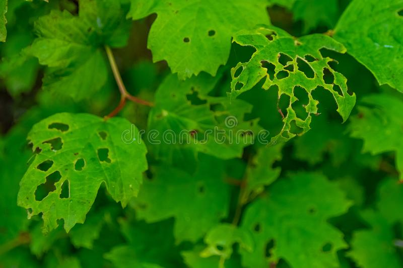 Leaves of plants damaged by pests and adverse conditions. Leaves of plants damaged by insect pests and adverse environmental conditions. The concept of stock images
