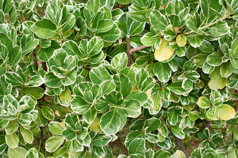 Leaves of plants Emerald Gaiety Euonymus. As background stock photos