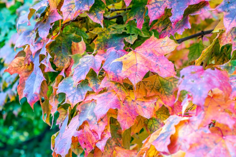 Colorful leaves show the beginning of autumn stock photo