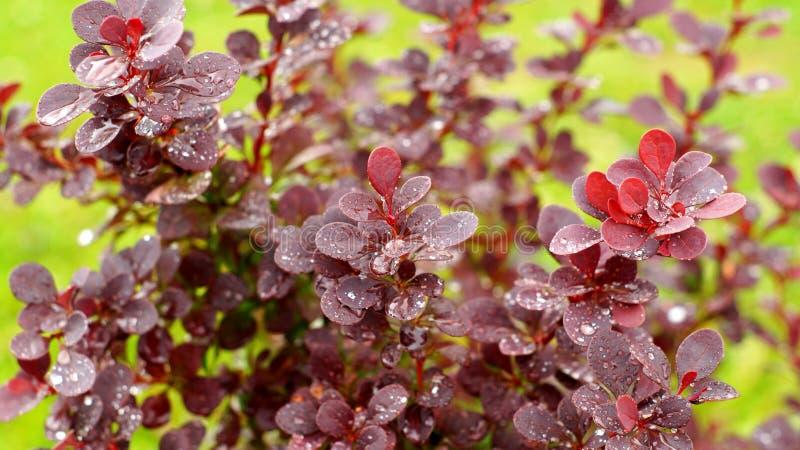 Leaves of Purple Berberis Thunbergii. Leaves of Purple Berberis after rain stock photos