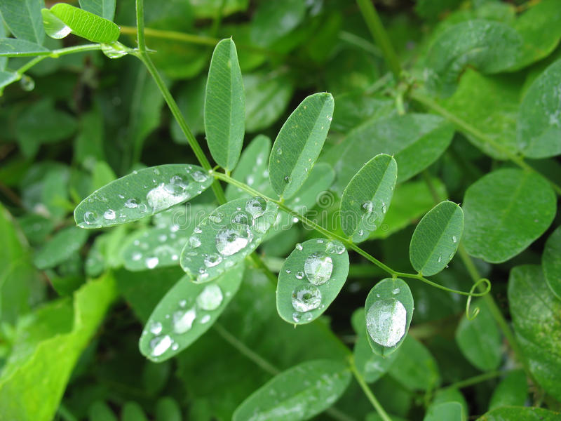 Leaves with raindrops. Natural background stock image