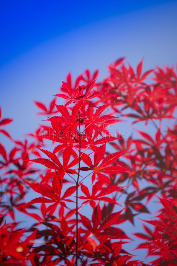 The leaves of red maple. The bright color of the red maple leaves flung against the blue sky stock photography