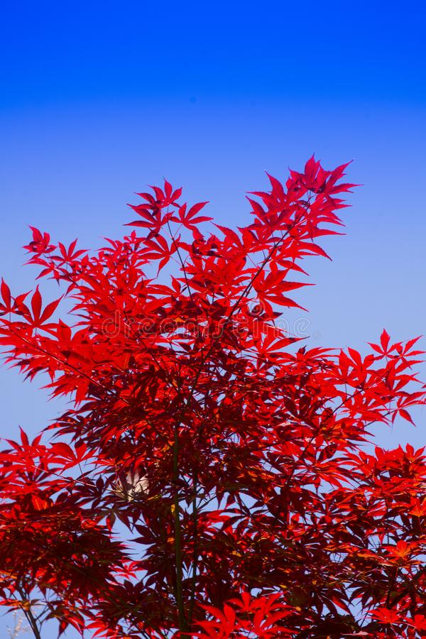 The leaves of red maple. The bright color of the red maple leaves flung against the blue sky stock image
