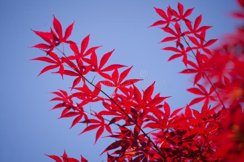 The leaves of red maple. The bright color of the red maple leaves flung against the blue sky royalty free stock images