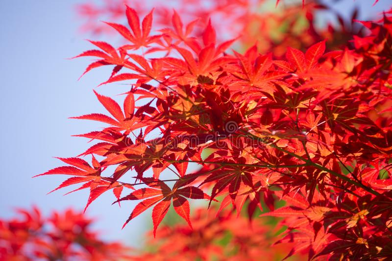 The leaves of red maple. The bright color of the red maple leaves flung against the blue sky stock images