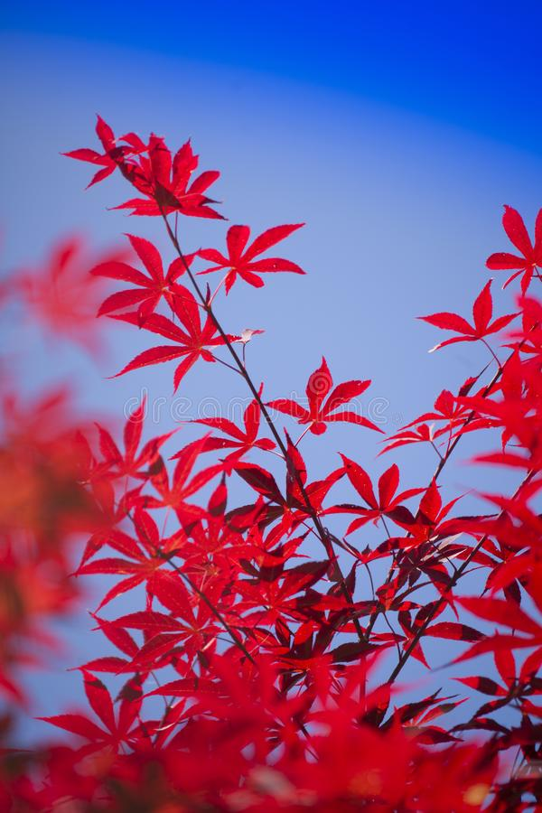 The leaves of red maple. The bright color of the red maple leaves flung against the blue sky stock photo