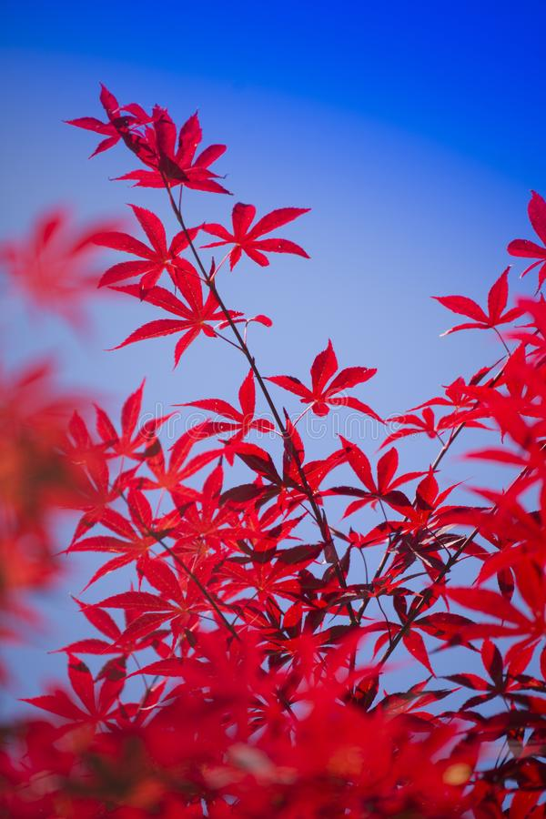 The leaves of red maple. The bright color of the red maple leaves flung against the blue sky royalty free stock photo