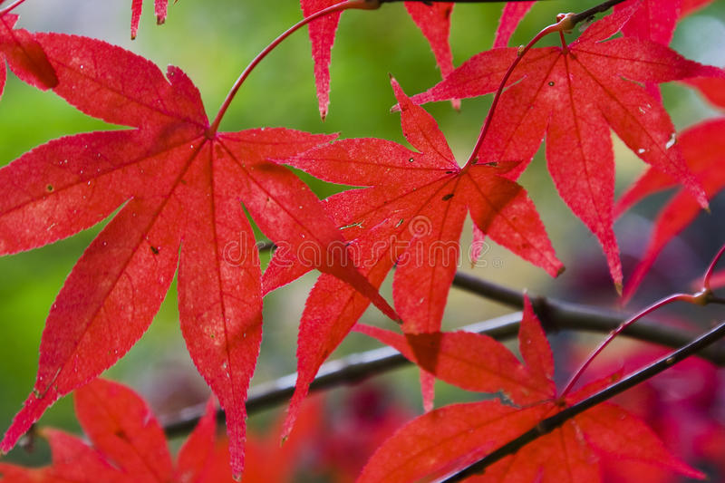 Download Leaves Red Maple hor stock photo. Image of group, maple - 15770976