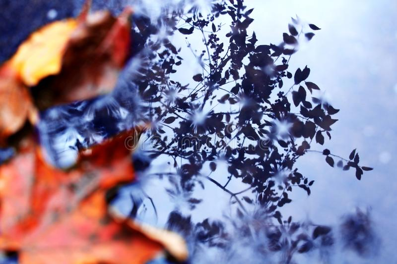 Leaves and Reflection. Two orange autumn leaves in a puddle with a blue reflection of a tree royalty free stock image