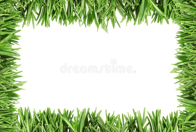 The leaves of rosemary on the edge royalty free stock photography