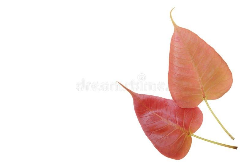Leaves of Sacred Fig Tree stock image