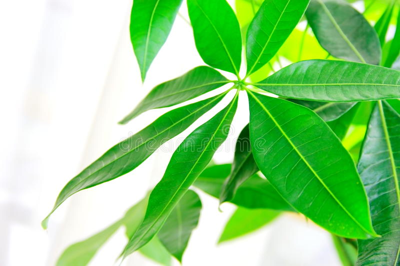The leaves of Schefflera royalty free stock photos