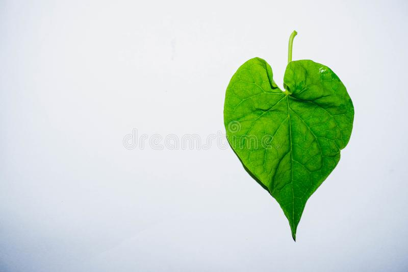 Leaves shaped like a heart nature. Green leaves shaped like hearts Place on a clean white background royalty free stock photography