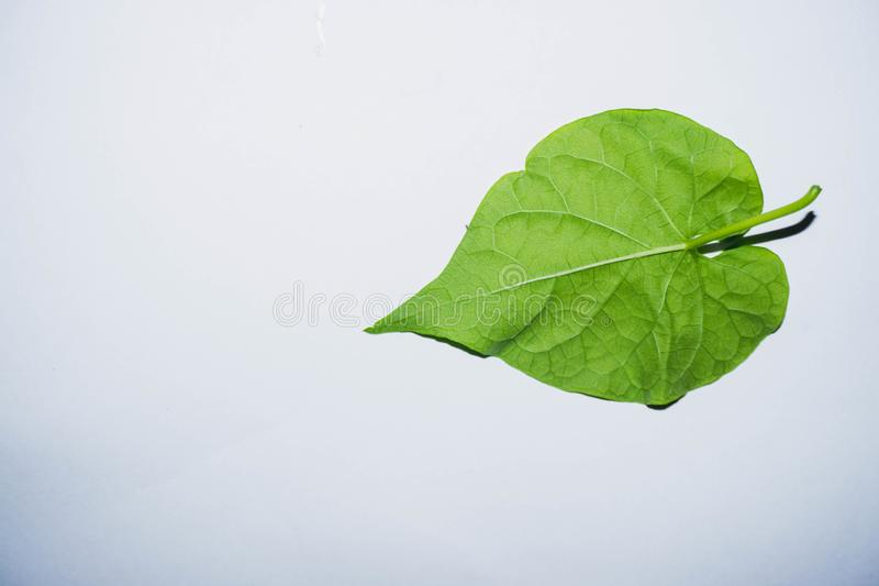 Leaves shaped like a heart nature. Green leaves shaped like hearts Place on a clean white background stock photo
