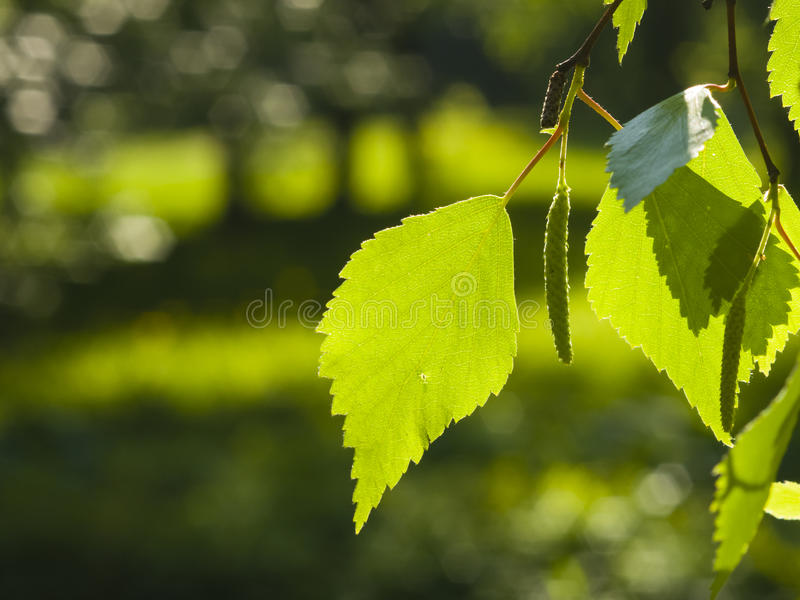 Leaves of Silver birch, Betula pendula, tree in morning sunlight, selective focus, shallow DOF.  royalty free stock photos
